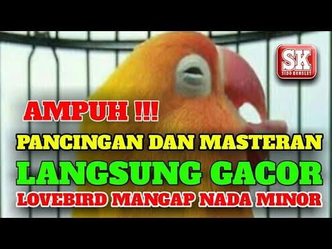 AMPUH !!! PANCINGAN DAN MASTERAN LOVEBIRD NGEKEK MANGAP NADA MINOR