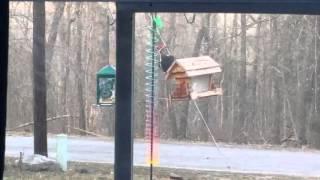 Pileated woodpecker on bird feeder, March 15, 2016