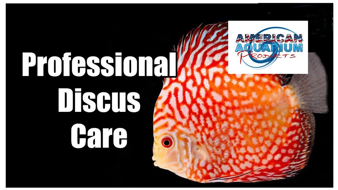 Discus Fish Care Tips How Many Discus Water Changes