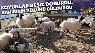 İkiz Doğuran Koyunlar Ardından Beşiz Dünyaya Getirerek Sahibini Sevince Boğdu