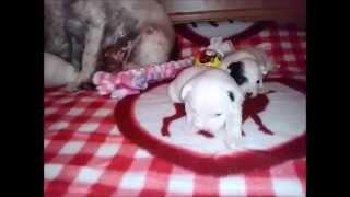 Parson Russell Terrier Welpen Vom Niggeland In Nrw / Gt Münsterland Zucht/ Züchter