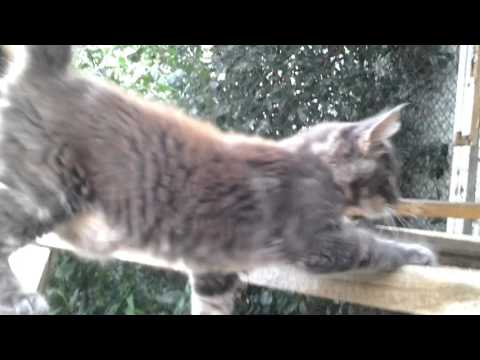 Maine coon kitten Akela, colour a22, 4 months, AVAILABLE