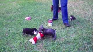Teacup, Toy, Miniature Schnauzer Puppies Playing Outside Ii