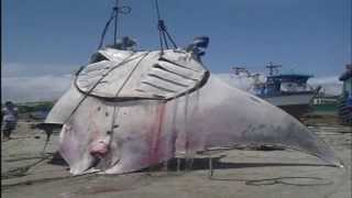 MANTARRAYA MAS GRANDE DEL MUNDO-PERU-capture giant stingray 8 m