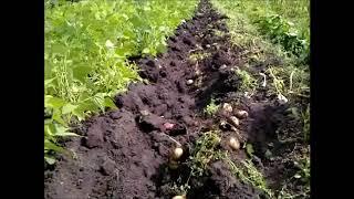 Копаю картошку веерной копалкой и мотоблок Нева мб23 - в итоге выкопал 6 рядов, лучше чем вручную