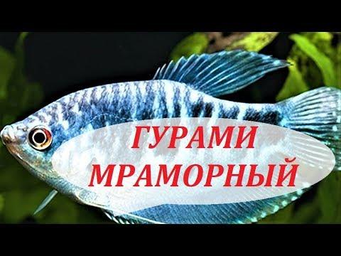 Гурами Мраморный. Размножение, совместимость, чем кормить, самец и самка.