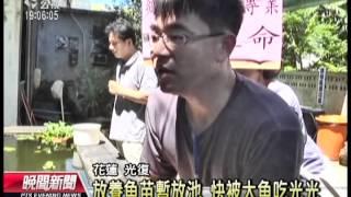 20120705 公視晚間新聞 魚苗置池快遭大魚吃光 放養變殺生
