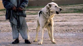 Sage Koche Afghan Aboriginal Shepherd Dog