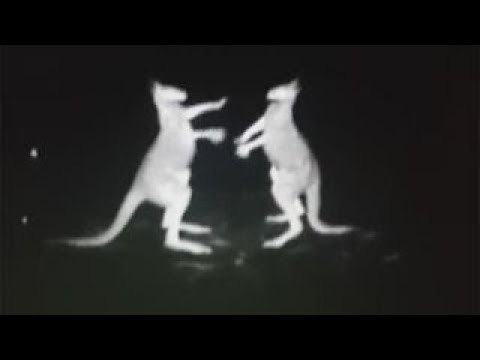 fighting-kangaroos-filmed-on-cop-chopper-s-infrared-camera