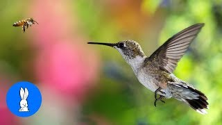 ULTIMATE Hummingbird Compilation - BE AMAZED