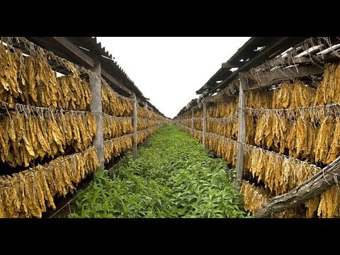 How To Harvest Tobacco? - Tobacco Farming and Tobacco Harvesting Modern Technology