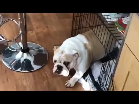 Guilty Dogs Reacting After Getting Caught | Dog Compilation 2019