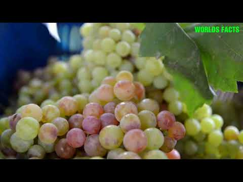 Grapes Farming in Pakistan ,Thompson (Seedless)Perlette (Seedless)Red Globe ,Cardinal  Sultana