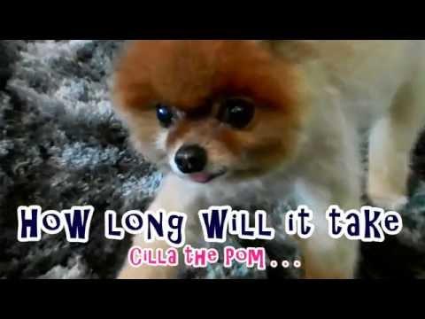 Cilla The Pom is a Very Bad Sniifer Dog (1)