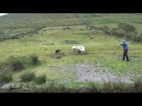 Addestratore cinofilo Irlandese di border collie