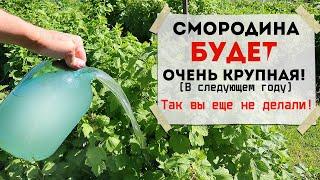 Помогите смородине плодоносить лучше в следующем году Сделайте это в августе сентябре с кустами