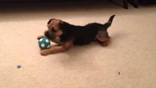 Singing Border Terrier