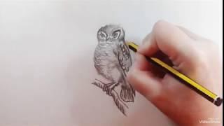 How to draw an Elf Owl - Como dibujar un Mochuelo Duende