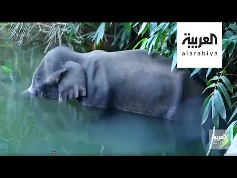 قتل أنثى فيل في الهند بإطعامها ثمرة أناناس بداخلها قنبلة  - نشر قبل 2 ساعة