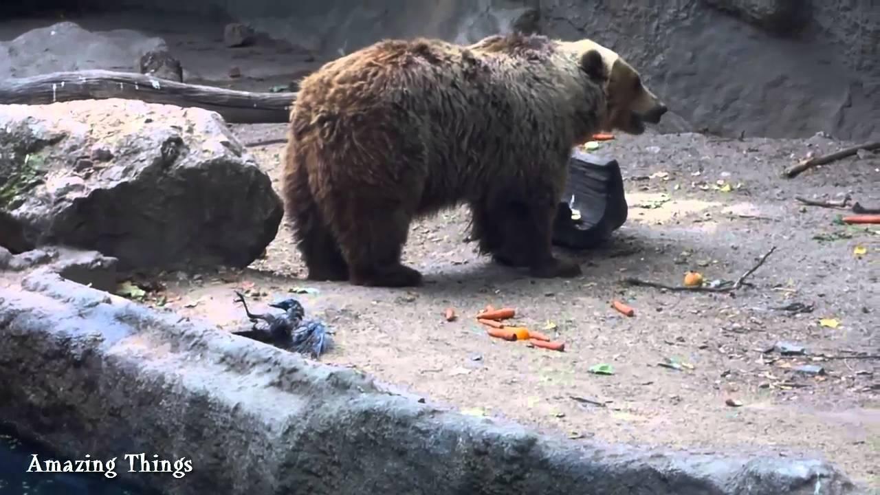 Rescue bald bear 59