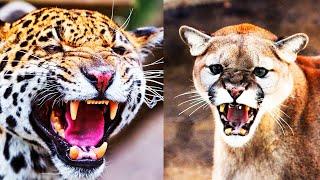 Jaguar vs Puma | ¿Quién Ganaría? | EPIC VERSUS