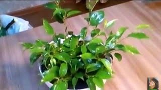видео Фикус Наташа: как ухаживать за растением?