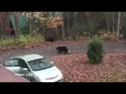 None - Hilary's Weird News - Bears raid Prius for candy bars