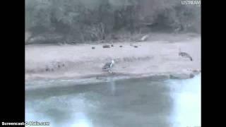 Botswana / Afryka -  drop olbrzymi i żyrafa