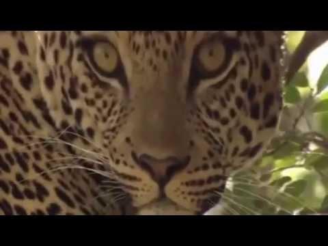 leopard vs hyena full documentary showing best attacks HD
