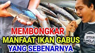 Mengulas Manfaat Ikan Gabus Atau Iwak Kutuk Yang Sebenarnya