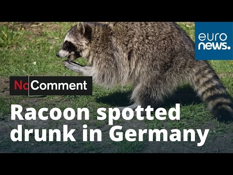 Mikey V - 'Drunk' Raccoon Caught Stumbling Around At A Christmas Market