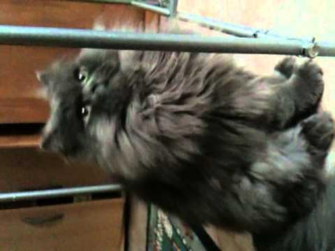 Mozart le chat