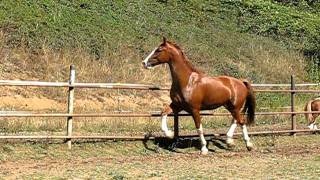 """SOLD!!!  """"Red""""-4 Year Old Dutch Harness Horse Gelding"""