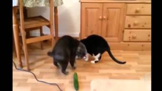 Кошки боятся огурца