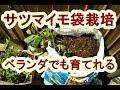 ベランダで出来る袋栽培サツマイモ栽培育て方 の動画、YouTube動画。