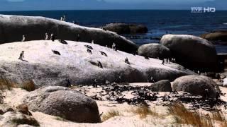 zwierzęta świata - afrykańskie pingwiny