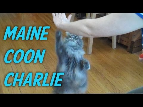 Maine Coon Cat Tricks