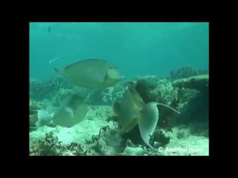 Herbivorous Fish — Unicornfish