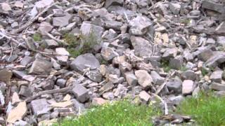 Sound of The American Pika