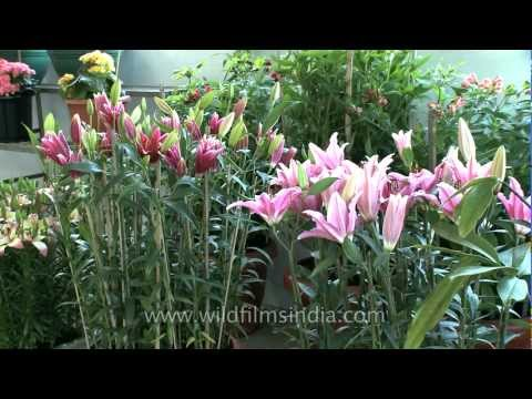 Asiatic Lilies at flower exhibition in Nagaland