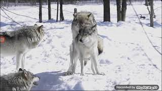 Alpha male mating and peeing