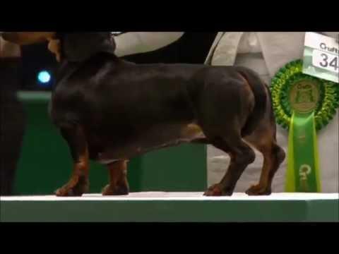 Miniature dachshund crufts 2013