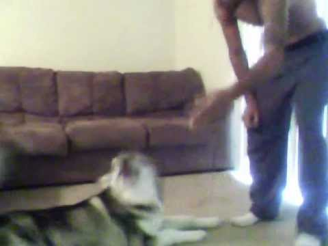 Alaskan malamute tricks early stages