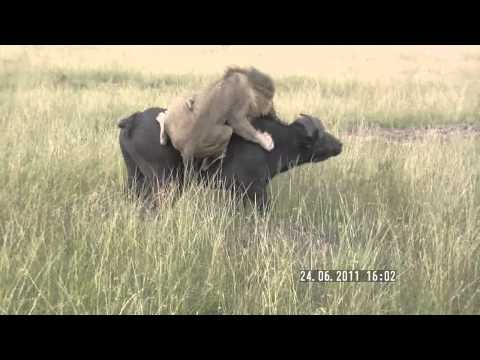 Lion attacks buffalo (Masai Mara, Kenya)