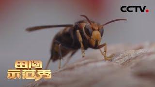 《田间示范秀》 20200630 拯救蜂王|CCTV农业