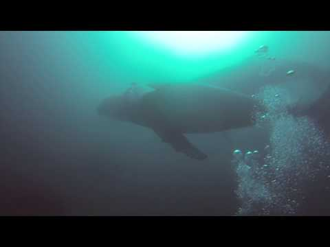 Humpback Whales on Office Reef, Tofo, Mozambique