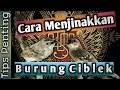 Menjinakan Burung Ciblek Tips Penting  Mp3 - Mp4 Download