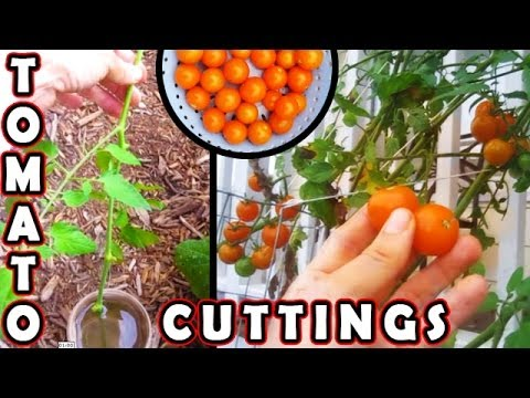 How To Plant Tomato Cutting. Faster Than Grow Tomatoes From Seed