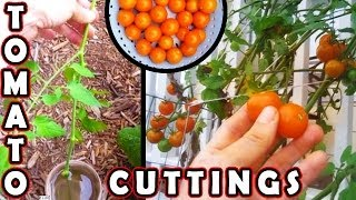 How to plant Tomato cutting. Faster than grow tomatoes from seed. seeds planting growing germinate