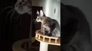 Квейнт, чёрный тикированный котик мейн-кун, 5 месяцев